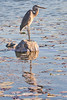 great blue heron,