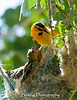 A male bullocks oriole assumes the duty of feeding a pair of hungry mouths.