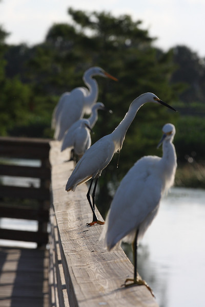 Egrets, all in a row, Green Cay wetlands