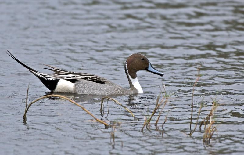 Pintail, Merritt Island National Wildlife Refuge, Florida