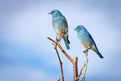 Mountain Bluebird pair 4448