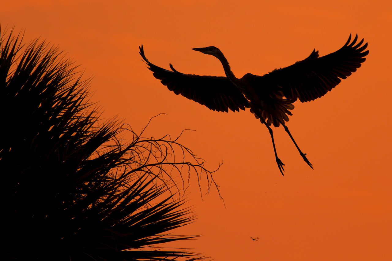 Great Blue Heron Landing in a Palm -- and Dragonfly - St. Marks NWR, Florida