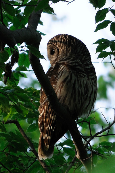 Barred Owl at dusk<br /> Fairfax County, Virginia