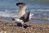 Herring Gull<br /> Larus argentatus