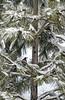 Quail in Ponderosa Pine