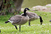 Canada Geese all grown up!  (Branta canadensis)