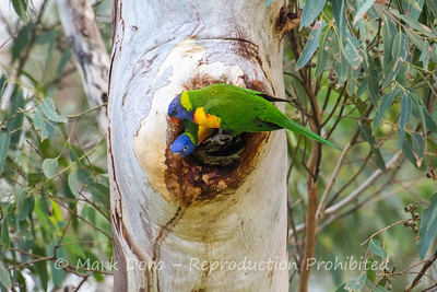 Inquisitive.  Not yet fledged, this Rainbow Lorikeet checks out the surrounds.  Boat Harbour, NSW