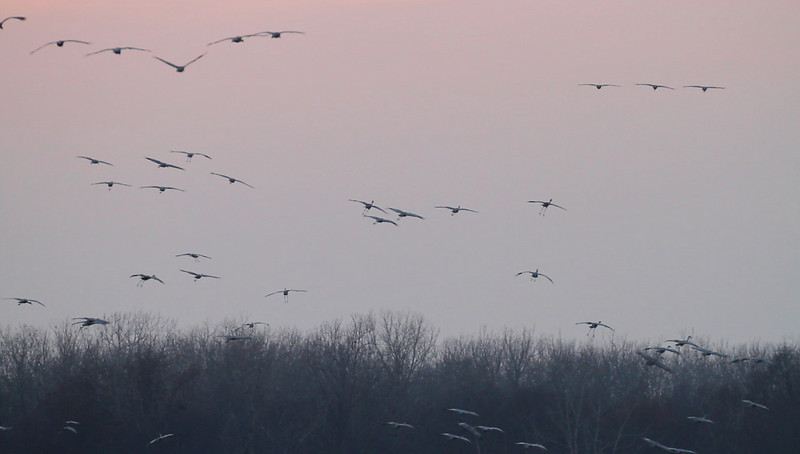 Sandhill Cranes coming in  - November 2010