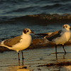 Franklin's and Laughing Gulls