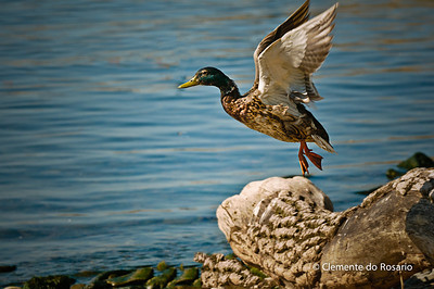 Mallard Duck in Flight, Gairloch Gardens,Oakville,Ontario