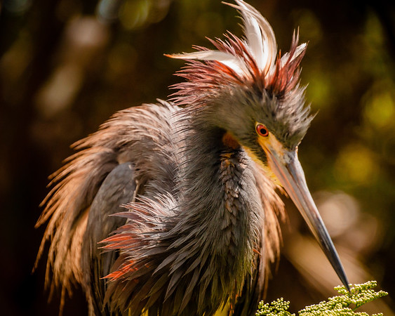 Tricolored Heron with Hair Spikes