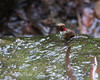 Allen's Hummingbird taking a bath in the stream. (Selasphorus sasin)