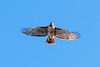 Red tail hawk Buteo jamaicensis
