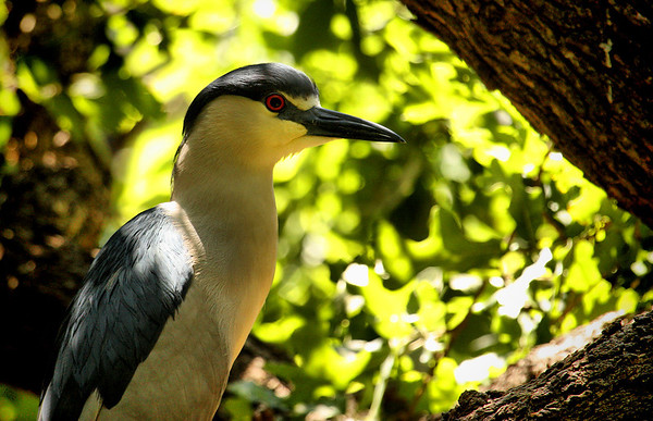 A black-crowned night-heron (Nycticorax nycticorax) perched in a tree (2009_05_17_019912)