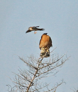 Kestrel Hawk dive bombing a Cooper's Hawk.