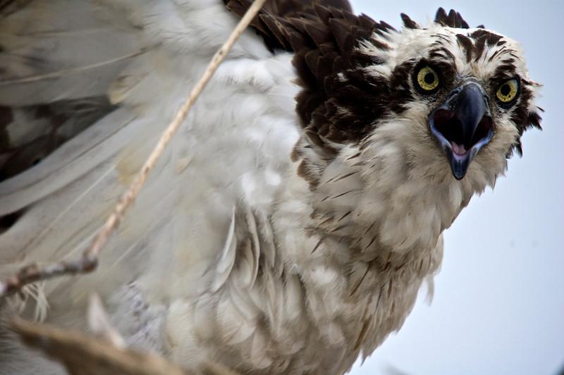 Osprey (Pandion haliaetus)<br /> Chickahominy River, Virginia, USA<br /> IUCN Status: Least Concern