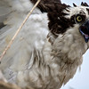 Osprey (Pandion haliaetus)<br /> Chickahominy River, Virginia, USA<br /> IUCN Status: Least Concern