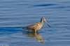 Marbled Godwit at Bodega Bay-1