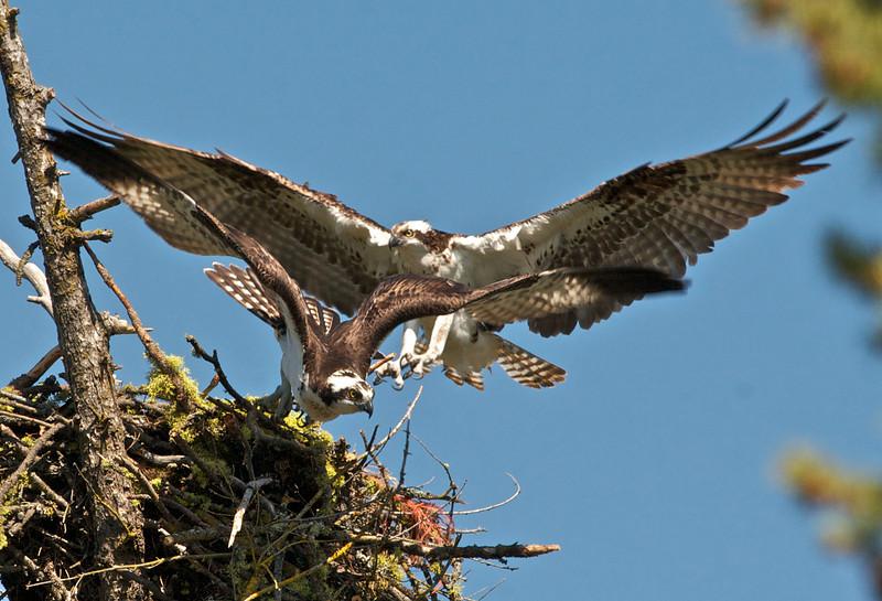 Osprey, Spokane River, Spokane, WA