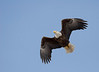 Bald Eagle - April 2008