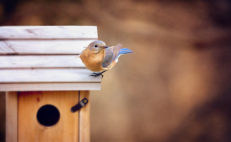 February 2018  St. Louis Bluebird