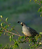 California Quail - Spokane, WA