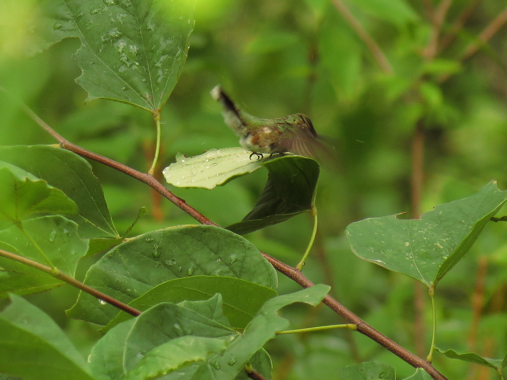 Hummingbird bathing in the raindrops on a leaf<br /> of the Forest Pansy Redbud tree.
