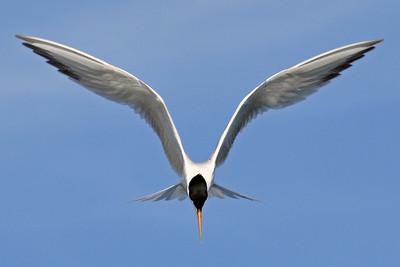 Symmetry -   Forster's  Tern
