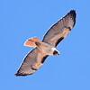Red-tailed Hawk, Buteo jamaicaensis, Bird photographed in Clarkdale, AZ