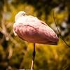 Roseate Spoonbill Resting