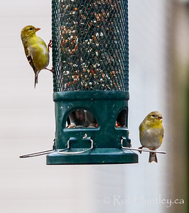 Two goldfinches.