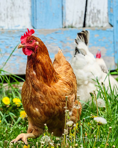 Chickens near an old blue and white shed.