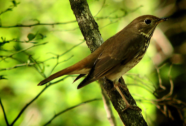 A hermit thrush (Catharus guttatus) perched on a branch (IMG_0560)