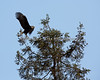Male Bald Eagle taking off - Milpitas - 10Apr2017