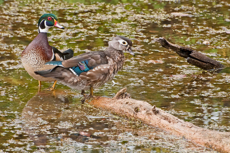 Wood Duck pair, Beaver Marsh, 9/17/10.