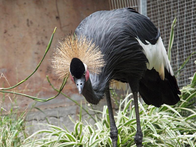 West African Black-Crowned Crane at LA Zoo - 5 July 2010