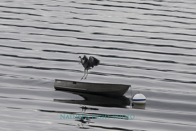 Blue Heron and Boat, Fox Island, WA
