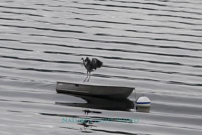 Blue Heron and Boat, Fox Island, WA
