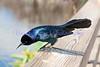 Brewer's Blackbird (Euphagus cyanocephalus)