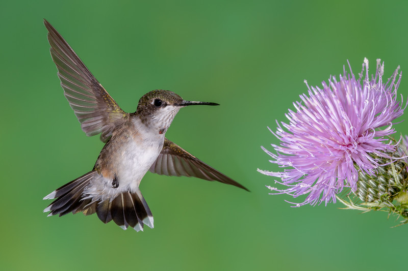 Hummingbird with Thistle