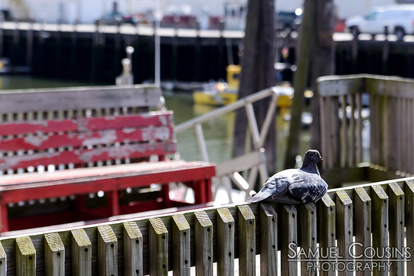 Pigeon sleeping on a fence at the Casco Bay Lines.