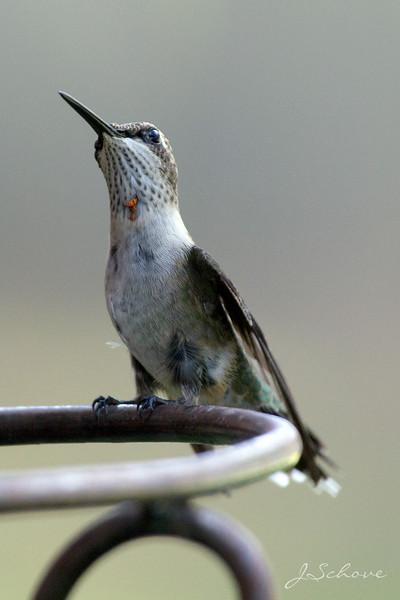 IMAGE: http://jschove.smugmug.com/Nature/Birds/i-7TcDspj/0/L/Hummingbird_3163_sig-L.jpg