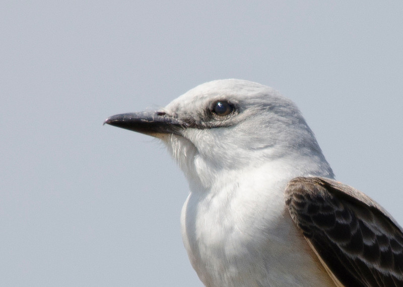 Sissor-tailed Flycatcher close up