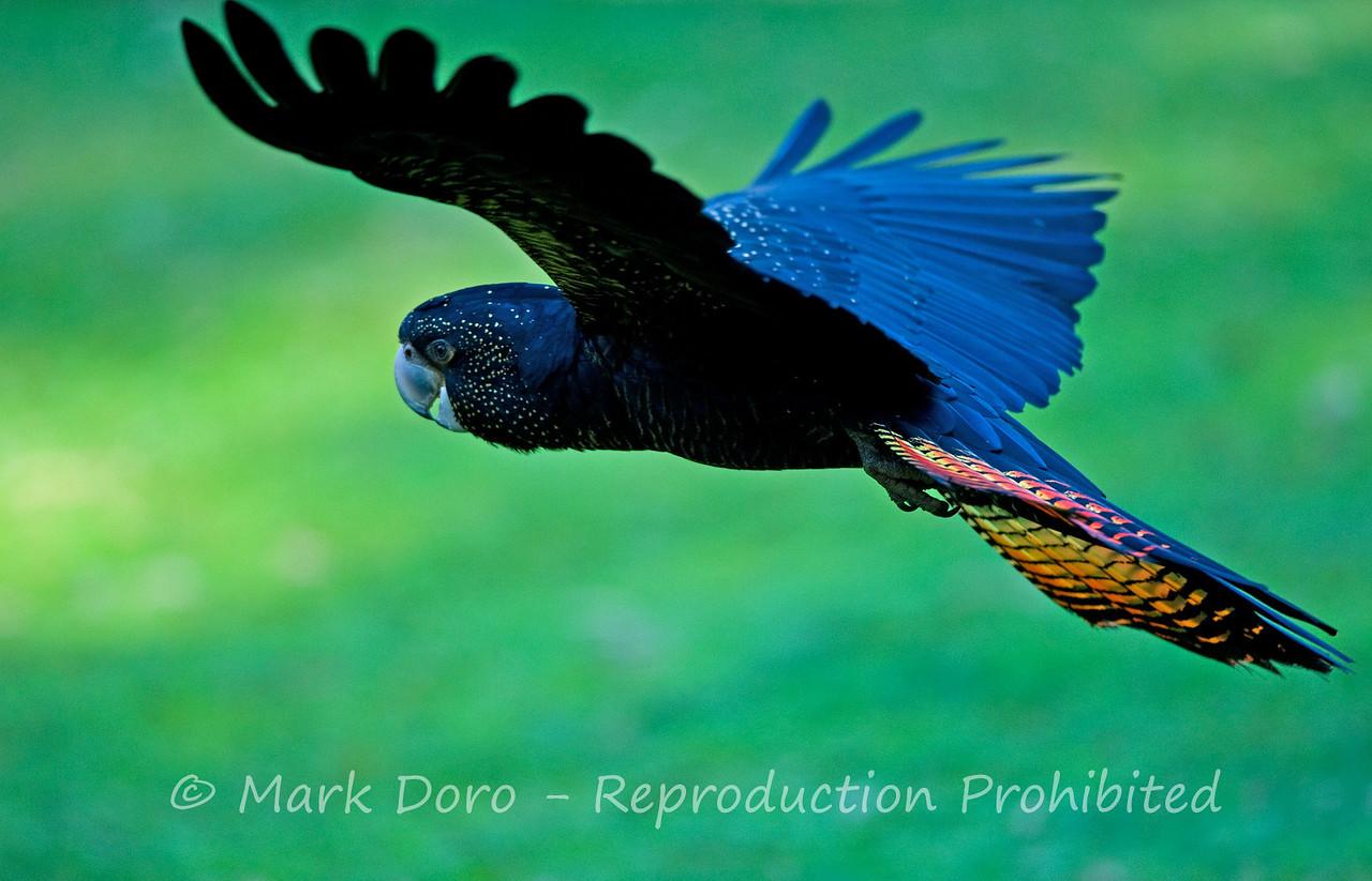 Female, Red-tailed Black-Cockatoo, Healesville, Victoria