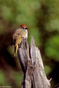 Green-tailed Towee in Tetons-2