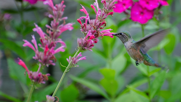Female Broadtail Hummingbird