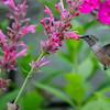 Female Broadtail Hummingbird