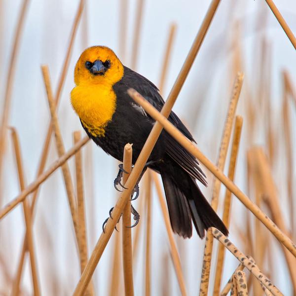 Yellow-headed Blackbird, Malheur National Wildlife Refuge, Oregon
