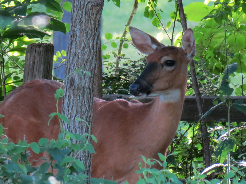 This doe has a baby close by and earlier in the day we had seen it nursing.<br />  This was shot from a long way off when she was in the shady trees at the back of the yard.