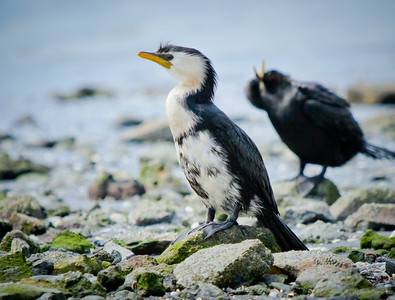 Little Shag (Phalacrocorax brevirostris)